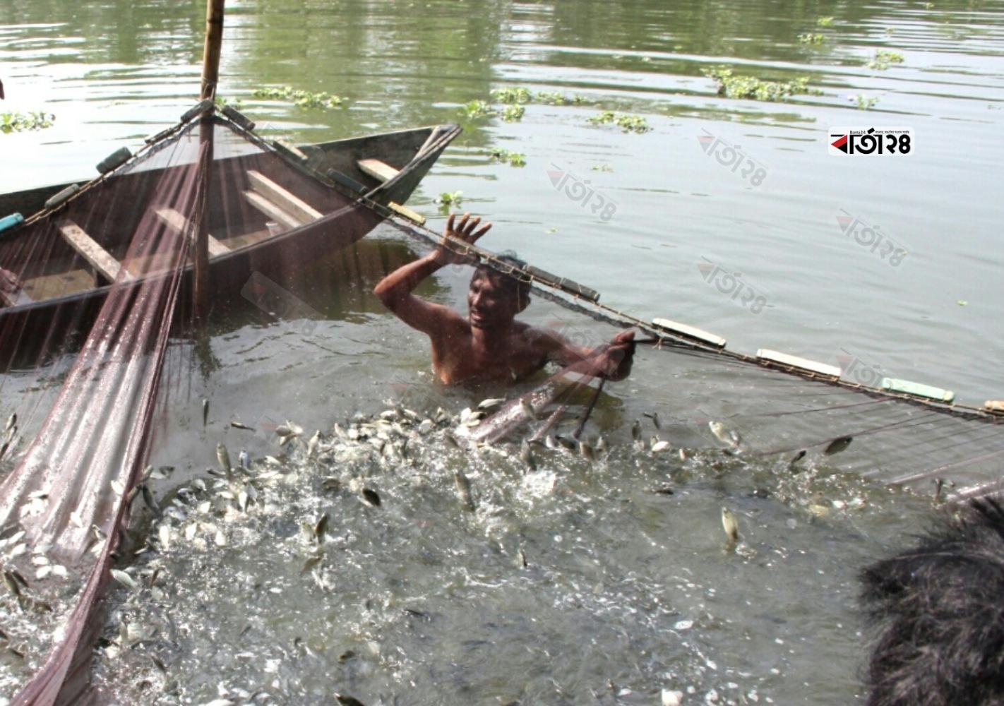চাষের পুকুর থেকে মাছ ধরতে ব্যস্ত জেলেরা। ছবিটি কেরানীগঞ্জ কদমতলী এলাকা থেকে তুলেছেন মেহেদী হাসান।