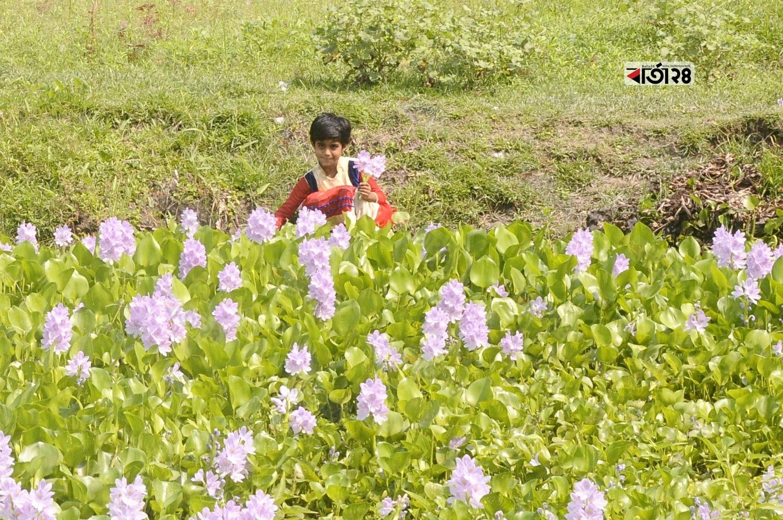 গ্রাম বাংলার খালে বিলে ছোট নদীতে ফুটে আছে কচুরিপানা ফুল। ছবিটি ডেমরার রাজাখালি এলাকা থেকে তোলা। ছবি : মেহেদী হাসান