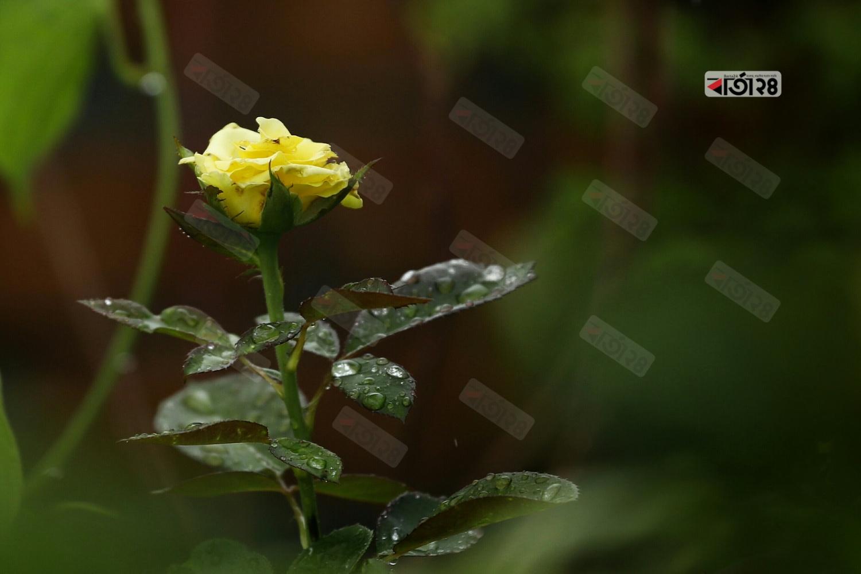 হলুদ গোলাপের পাতায় জমে থাকা বৃষ্টির পানি। ছবি : সুমন শেখ