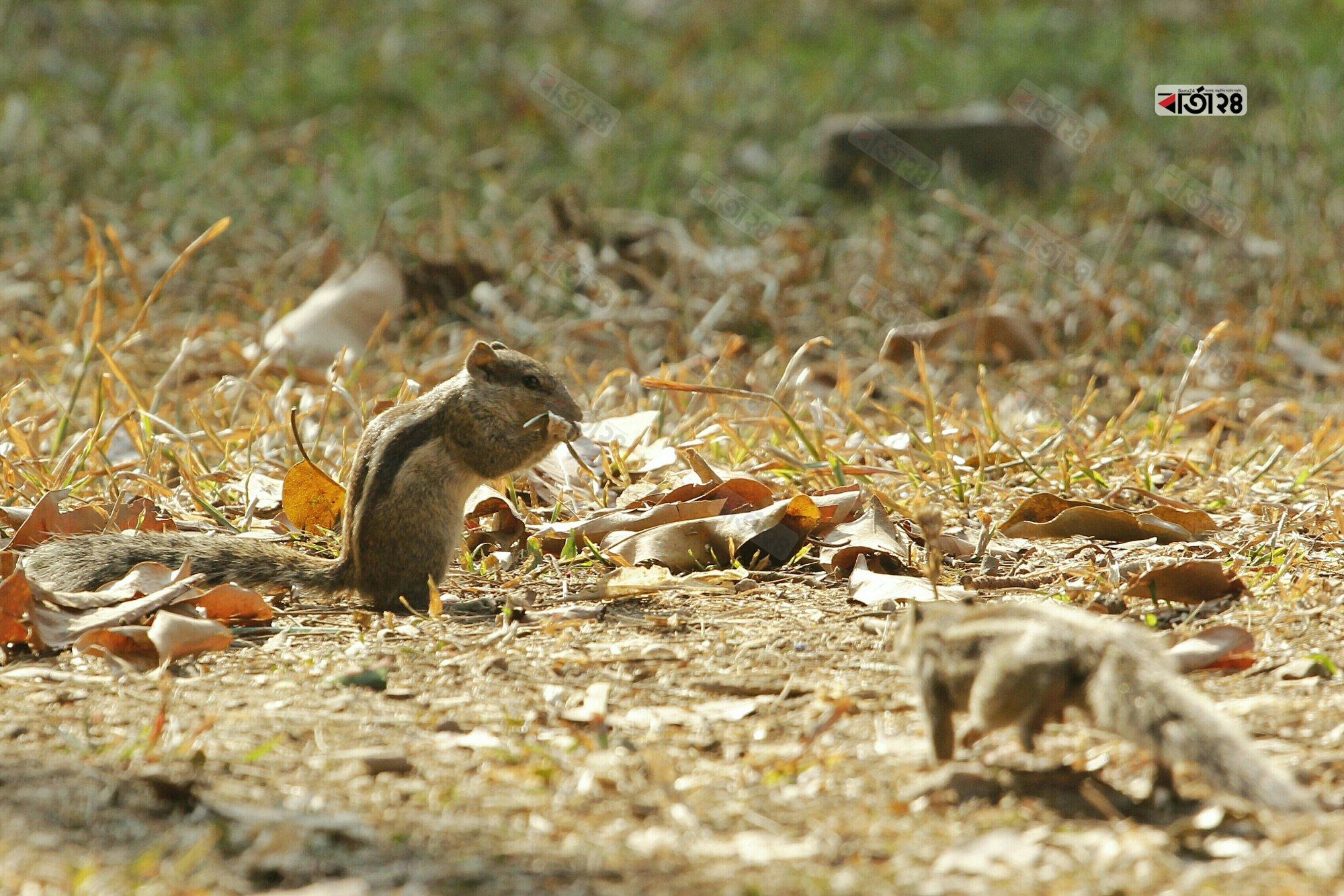 সকালের মিষ্টি রোদে গাছ থেকে নেমে খাবার খেতে ব্যস্ত কাঠ বিড়ালি। ছবি : সুমন শেখ