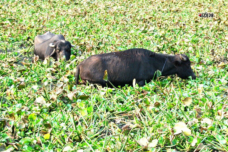 কাদাপানিতে খাবারের সন্ধানে নেমেছে একদল মহিষ। ছবিটি খিলগাঁও নন্দীপাড়া এলাকা থেকে তোলা।