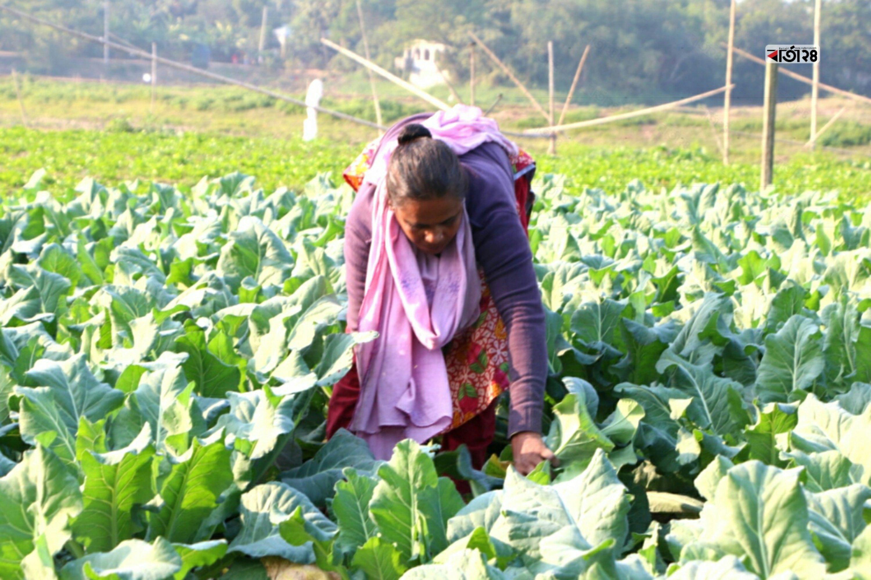 বিক্রির উদ্দেশ্যে ক্ষেত থেকে কাটা হচ্ছে  ফুলকপি। ছবিটি উত্তর কেরানিগঞ্জ থেকে তোলা।