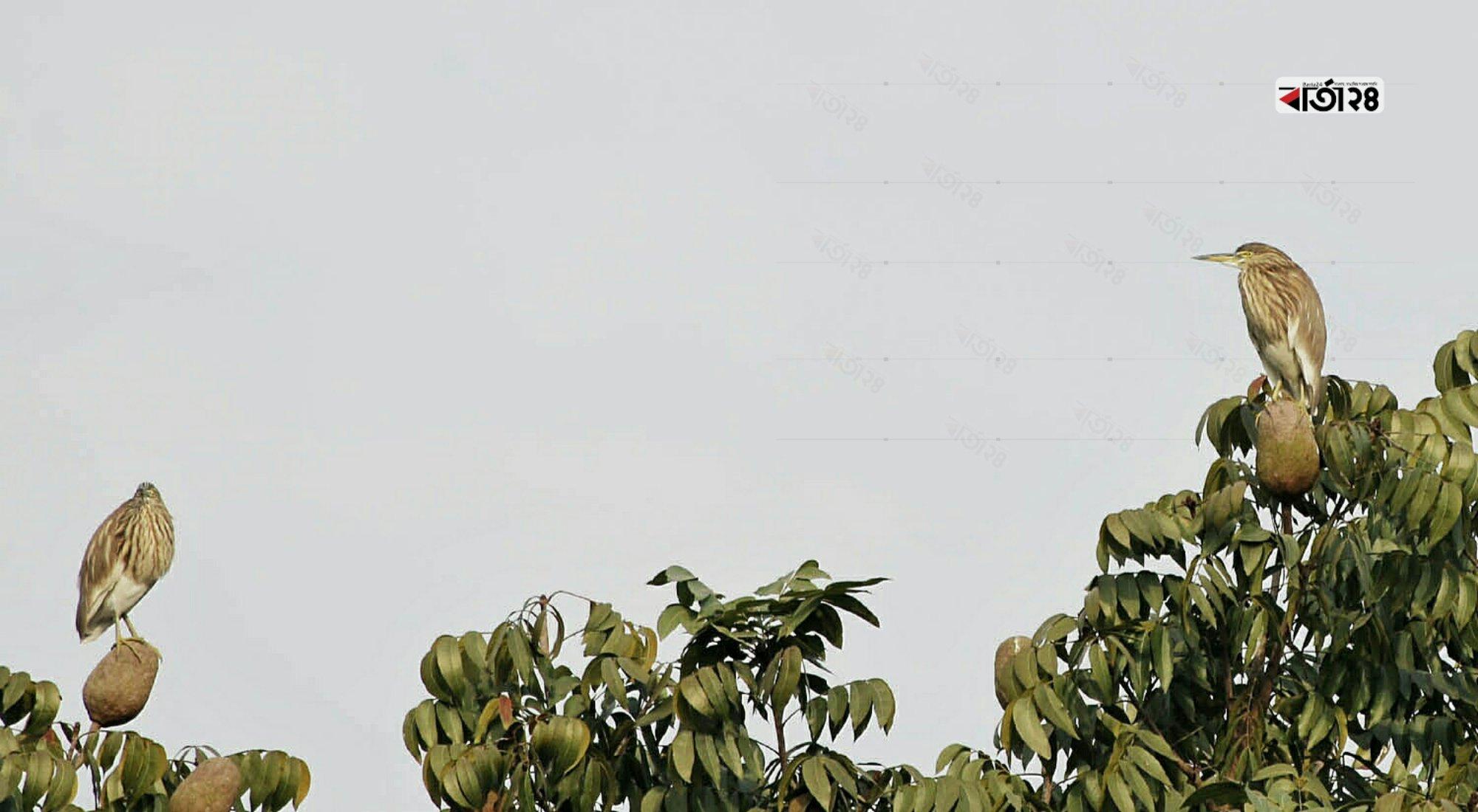 শিকারের অপেক্ষায় গাছের মগডালে বসে থাকা কানিবক। ছবিটি মেহেরপুর থেকে তোলা।