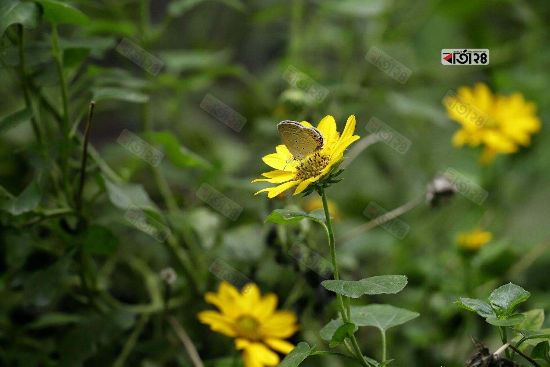 হলুদ গ্লাডিওলাস ফুলে আপন মনে বসে আছে প্রজাপতি। ছবি : সুমন শেখ
