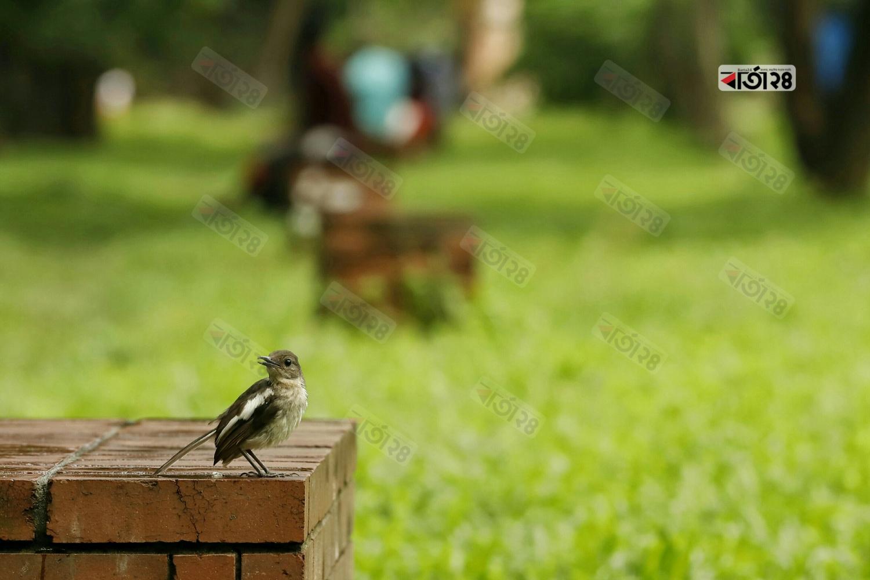 খাবারের সন্ধানে বসে আছে জাতীয় পাখি দোয়েল। ছবি : সুমন শেখ