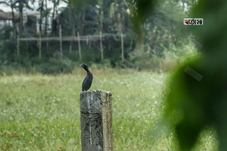 খাবারের সন্ধানে বসে অাছে জলচর পাখি পানকৌড়ি। ছবিটি ডেমরার ঠুলঠুলিয়া গ্রাম থেকে তুলেছেন সুমন শেখ।