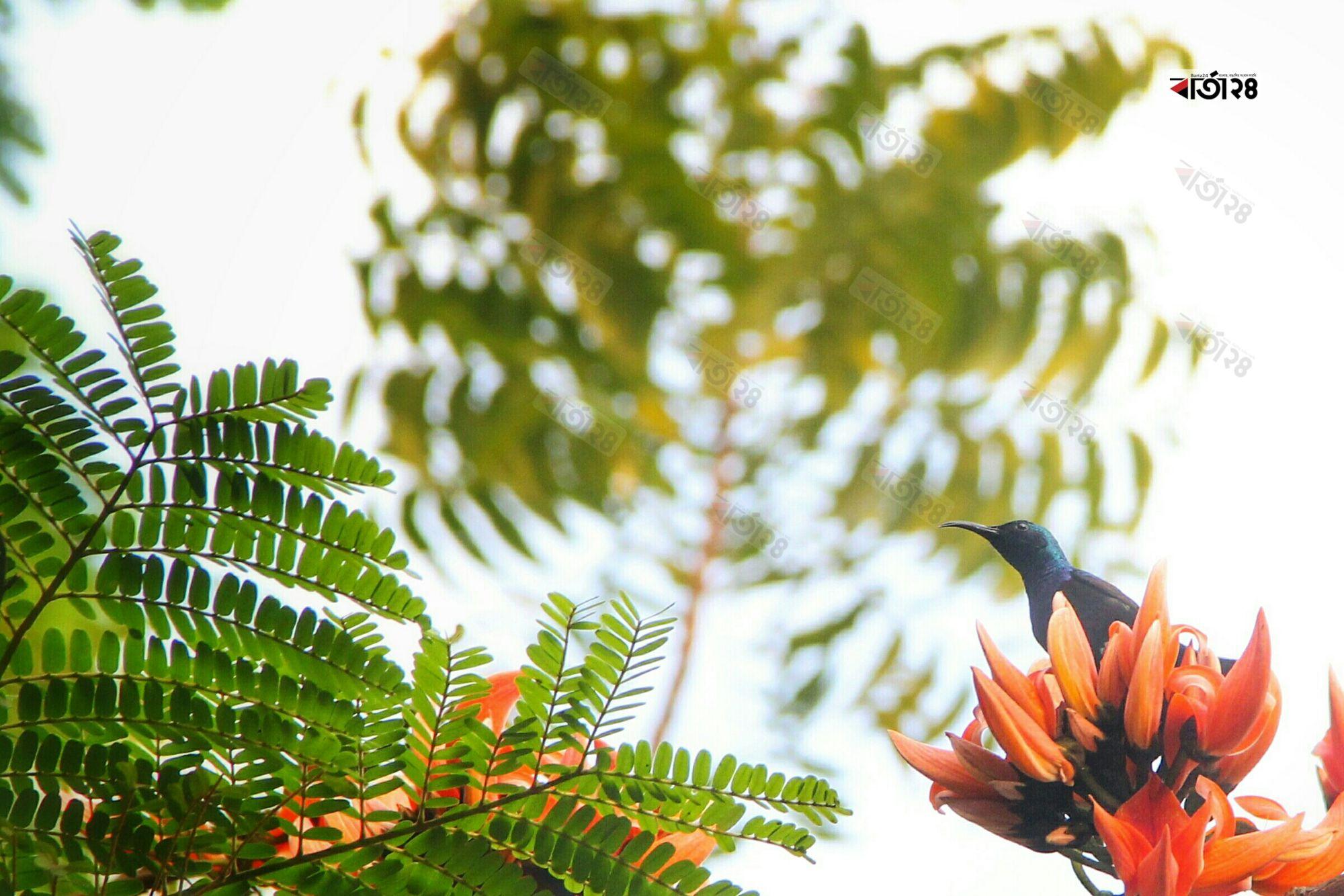 শিমুল ফুলে বসে আছে সাব-সাহারান আফ্রিকা অঞ্চলে পাওয়া সূর্যাস্ত পরিবারের একটি ছোট প্যালেস্তাইন সানবার্ড। ছবিটি চট্টগ্রাম থেকে তুলেছেন সুমন শেখ।