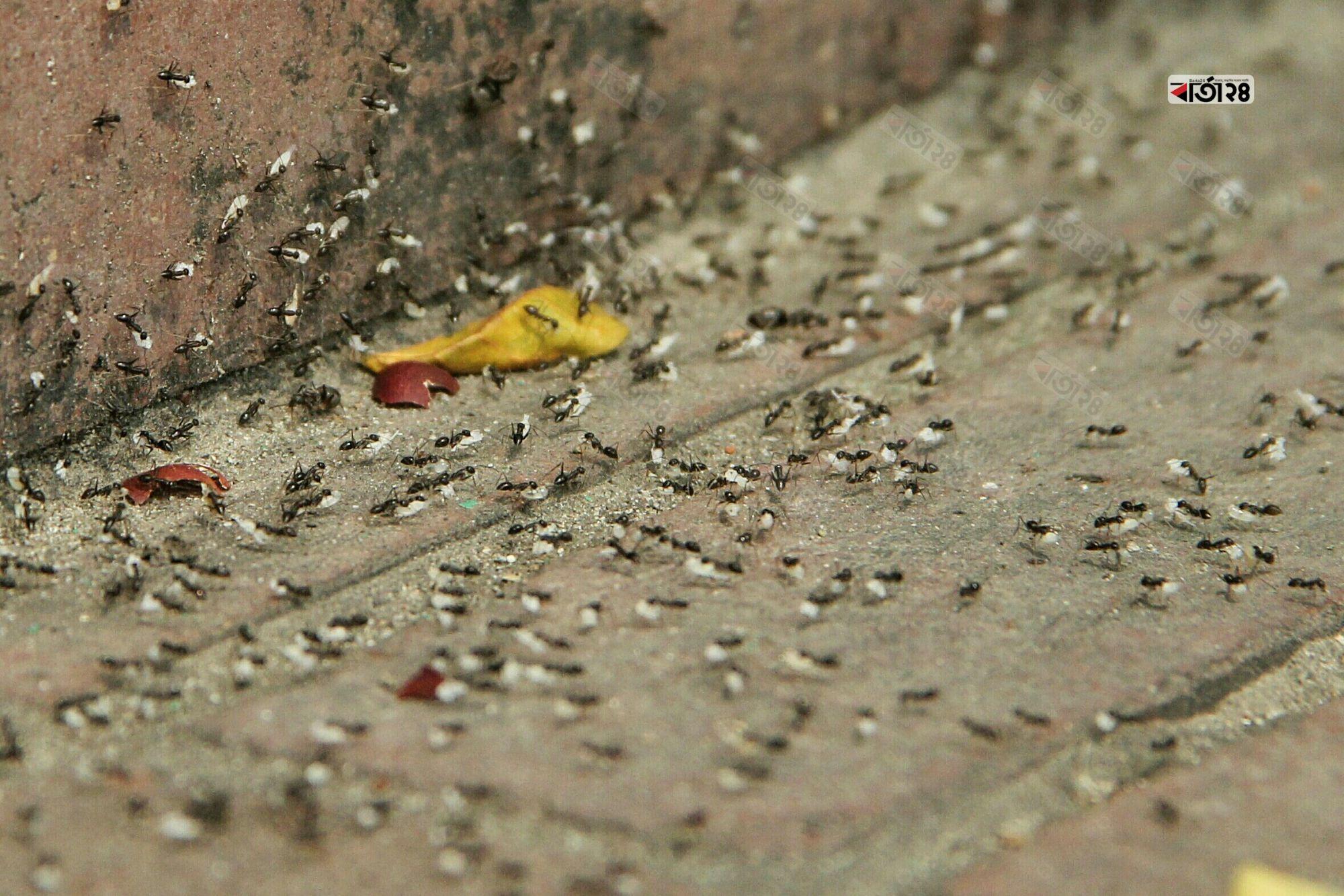 মুখে করে খাবার নিয়ে যেতে ব্যস্ত কালো পিঁপড়ার দল। ছবি : সুমন শেখ