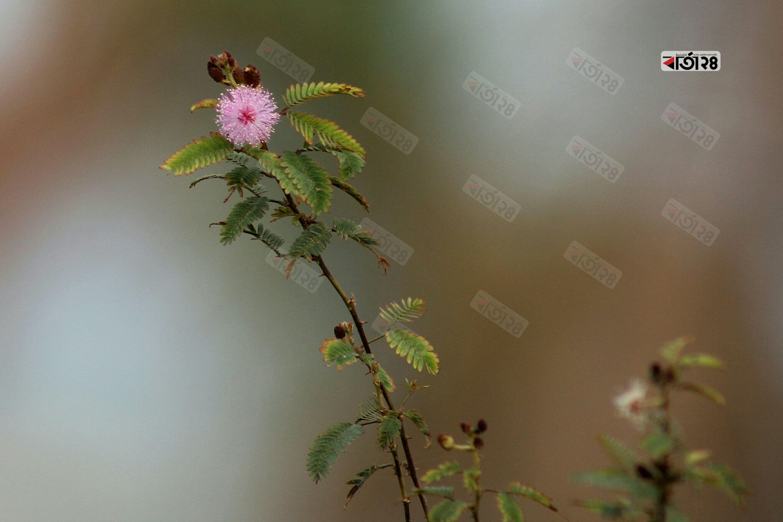 গাছে ফুঁটে অাছে লজ্জাবতী ফুল। ছবি : সুমন শেখ