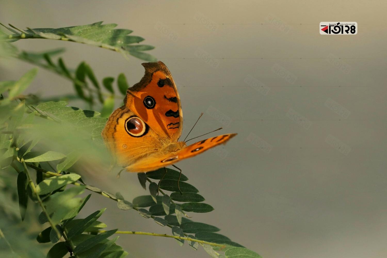 সবুজ পাতায় বসে থাকা হলুদ প্রজাপতি। ছবি : সুমন শেখ