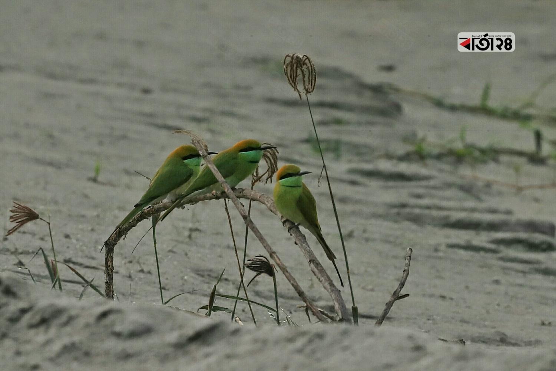 সকালে ঘর থেকে বের হয়ে শিকারের খোঁজে গ্রীন বি-ইটার পাখি। ছবিটি আমুলিয়া থেকে তুলেছেন সুমন শেখ।