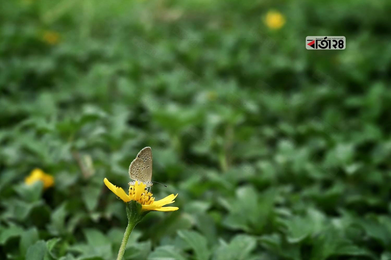 হলুদ ফুলে বসে মধু সংগ্রহে ব্যস্ত ছোট প্রজাপতি। ছবি : সুমন শেখ