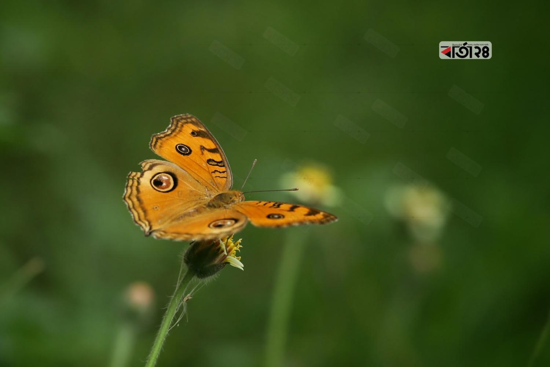 ছোট্ট ফুল থেকে মধু সংগ্রহে ব্যস্ত হলুদ প্রজাপতি। ছবি : সুমন শেখ